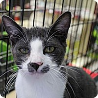 Russian Blue Cat for adoption in Santa Monica, California - Austin