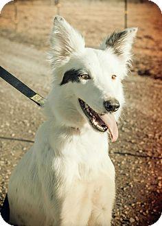 Border Collie Mix Dog for adoption in Seattle, Washington - Angel