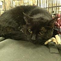 Domestic Shorthair Cat for adoption in Alhambra, California - Chelsea