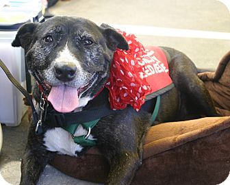 American Pit Bull Terrier Mix Dog for adoption in Lincoln, California - Betty - Adoption Sponsored!!
