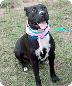 American Bulldog/American Staffordshire Terrier Mix Dog for adoption in Conroe, Texas - McKenna - Watch my VIDEO!