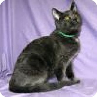Domestic Shorthair Cat for adoption in Powell, Ohio - Caitlyn