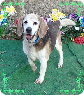 Beagle Mix Dog for adoption in Marietta, Georgia - LUKE (R)
