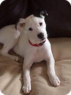 American Bulldog/Boxer Mix Puppy for adoption in Brattleboro, Vermont - BRODIE