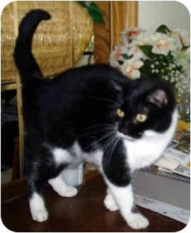 Domestic Shorthair Cat for adoption in Leoti, Kansas - Spunky