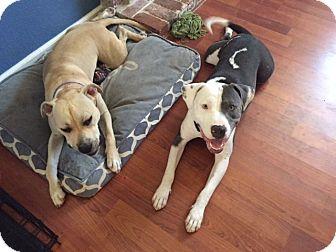 Pit Bull Terrier Mix Dog for adoption in Sacramento, California - Axil