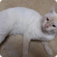 Adopt A Pet :: Marco Polo flame point - McDonough, GA