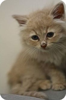 Domestic Mediumhair Kitten for adoption in THORNHILL, Ontario - Sally