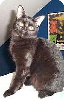Domestic Shorthair Cat for adoption in Fayetteville, Georgia - Happy