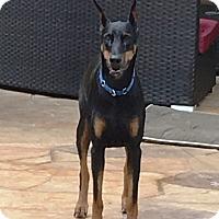 Adopt A Pet :: Athena - Arlington, VA