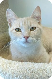 Domestic Shorthair Cat for adoption in Austintown, Ohio - Sammi