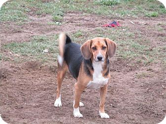 Beagle Mix Dog for adoption in Liberty Center, Ohio - Vandi