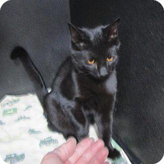 Domestic Shorthair Kitten for adoption in Albemarle, North Carolina - Cole