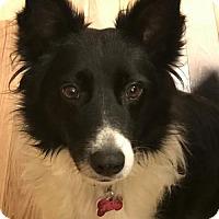 Border Collie Dog for adoption in Evansville, Indiana - Sissy
