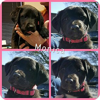 Labrador Retriever Mix Puppy for adoption in Gainesville, Georgia - Monica