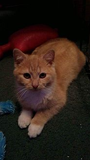 Domestic Shorthair Cat for adoption in Clay, New York - Tomtom&Tosie kittens