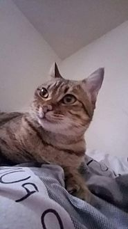 Domestic Shorthair Cat for adoption in Hampton, Virginia - Lucy (Courtesy Listing)