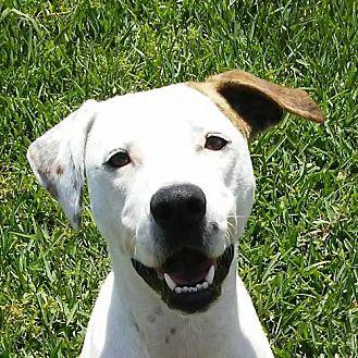 Labrador Retriever/Pointer Mix Dog for adoption in League City, Texas - Lyla