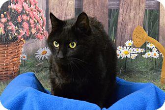 Domestic Shorthair Cat for adoption in Lebanon, Missouri - GiGi