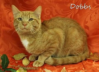 Domestic Shorthair Cat for adoption in Knoxville, Tennessee - Dobbs Male