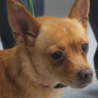 Adopt A Pet :: Goldie - Robinson, IL