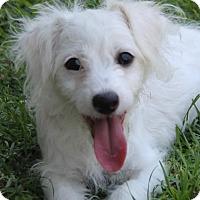 Adopt A Pet :: Trixie - La Habra Heights, CA