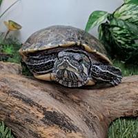 Adopt A Pet :: Chablis - Pefferlaw, ON