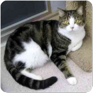 Domestic Shorthair Cat for adoption in San Clemente, California - SAVANNAH = Declawed