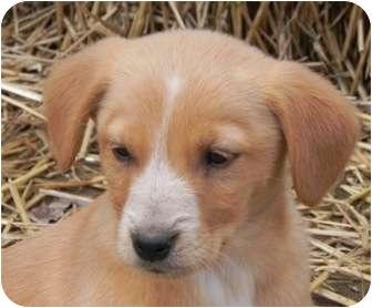 Collie/Labrador Retriever Mix Puppy for adoption in Salem, New Hampshire - Ambrose