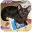 Photo 1 - Domestic Shorthair Kitten for adoption in Cedar Creek, Texas - Einstein