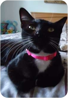 Domestic Shorthair Cat for adoption in Van Nuys, California - Socks