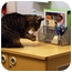 Photo 3 - Domestic Shorthair Cat for adoption in Schaumburg, Illinois - Jackie