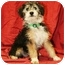 Photo 2 - Terrier (Unknown Type, Small) Mix Puppy for adoption in Westminster, Colorado - ODAIR