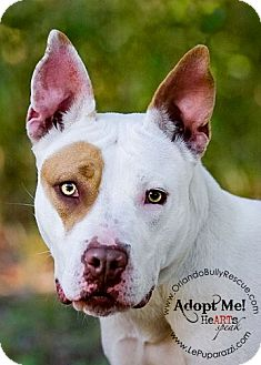 American Pit Bull Terrier Mix Puppy for adoption in Orlando, Florida - Diamond