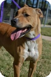Labrador Retriever/Shar Pei Mix Dog for adoption in Stillwater, Oklahoma - Buddy