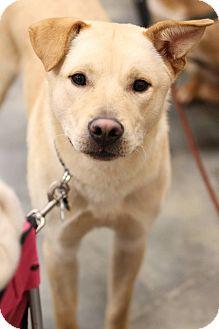 Labrador Retriever/Shepherd (Unknown Type) Mix Dog for adoption in Alpharetta, Georgia - Hans