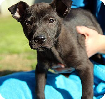 Labrador Retriever Mix Puppy for adoption in Groton, Massachusetts - Harper