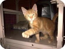 Domestic Shorthair Kitten for adoption in East Brunswick, New Jersey - Crimson