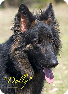 German Shepherd Dog Dog for adoption in Dripping Springs, Texas - Dolly