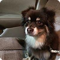 Adopt A Pet :: Brittany - Gilbert, AZ