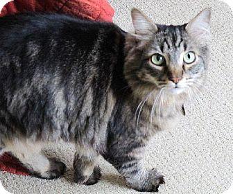 Domestic Longhair Cat for adoption in HILLSBORO, Oregon - Sugar Bee (aka 'Beeba') - Shy and Gentle Beauty