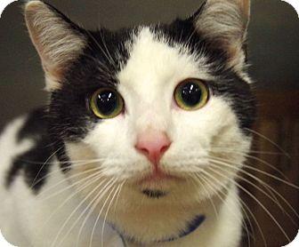 Domestic Shorthair Cat for adoption in Daytona Beach, Florida - Reed