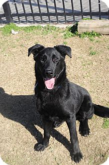 German Shepherd Dog Mix Dog for adoption in Memphis, Tennessee - Harley