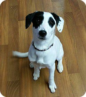 Border Collie/Beagle Mix Dog for adoption in Lisbon, Ohio - Annie