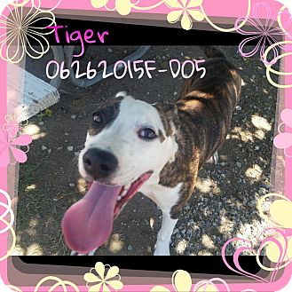 Pit Bull Terrier Mix Dog for adoption in DELANO, California - TIGER