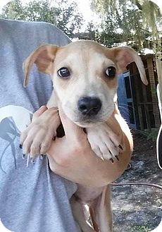 Black Mouth Cur Mix Puppy for adoption in Gainesville, Florida - Neptune