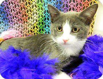 Domestic Shorthair Cat for adoption in Columbus, Nebraska - Buster