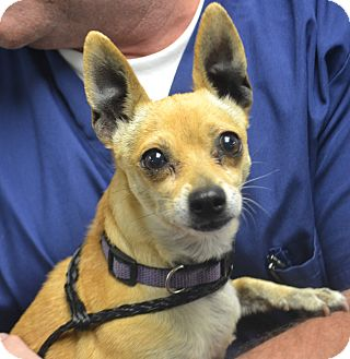 Chihuahua Mix Dog for adoption in Fruit Heights, Utah - Mimi