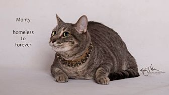 Domestic Shorthair Cat for adoption in Sherman Oaks, California - Monty