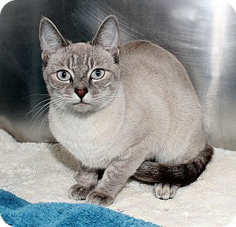 Siamese Cat for adoption in Las Vegas, Nevada - Mila